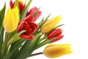 bunch of lovely red and yellow tulips isolated on white
