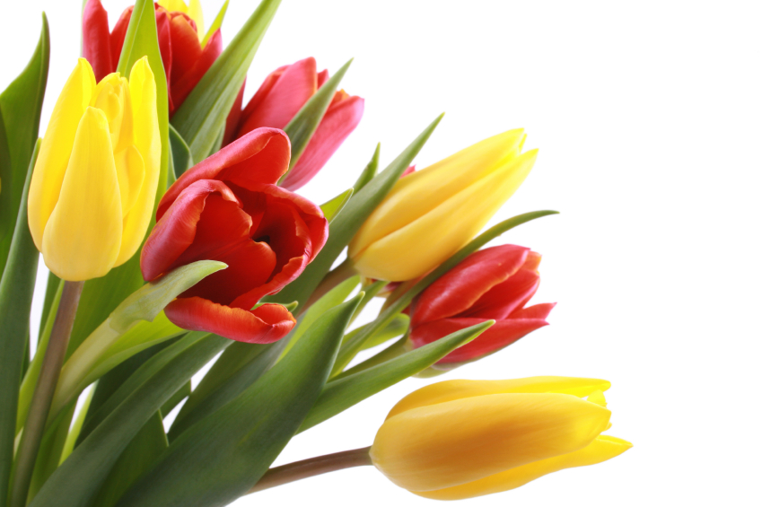 Do you know the meaning of these flowers blog myflowertree bunch of lovely red and yellow tulips isolated on white mightylinksfo
